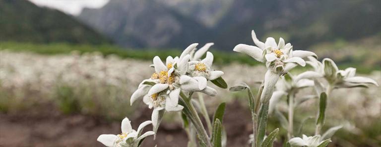 ordesa edelweiss